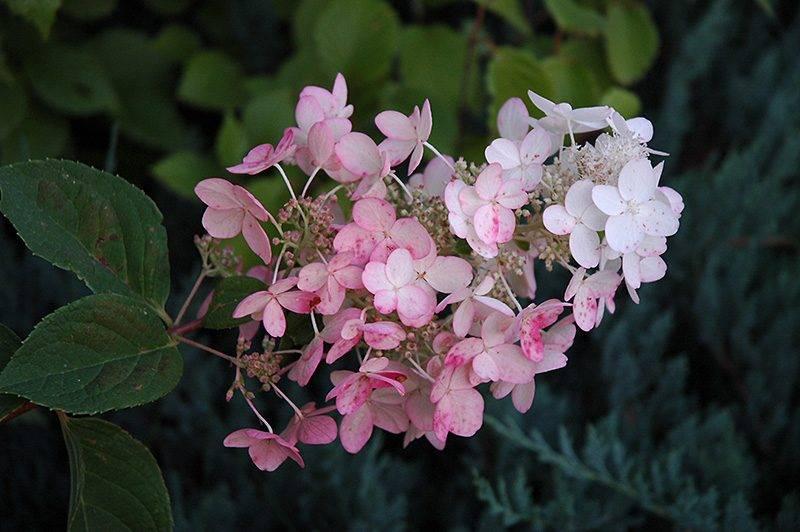 Гортензия даймонд руж (hydrangea paniculata diamant rouge) — описание