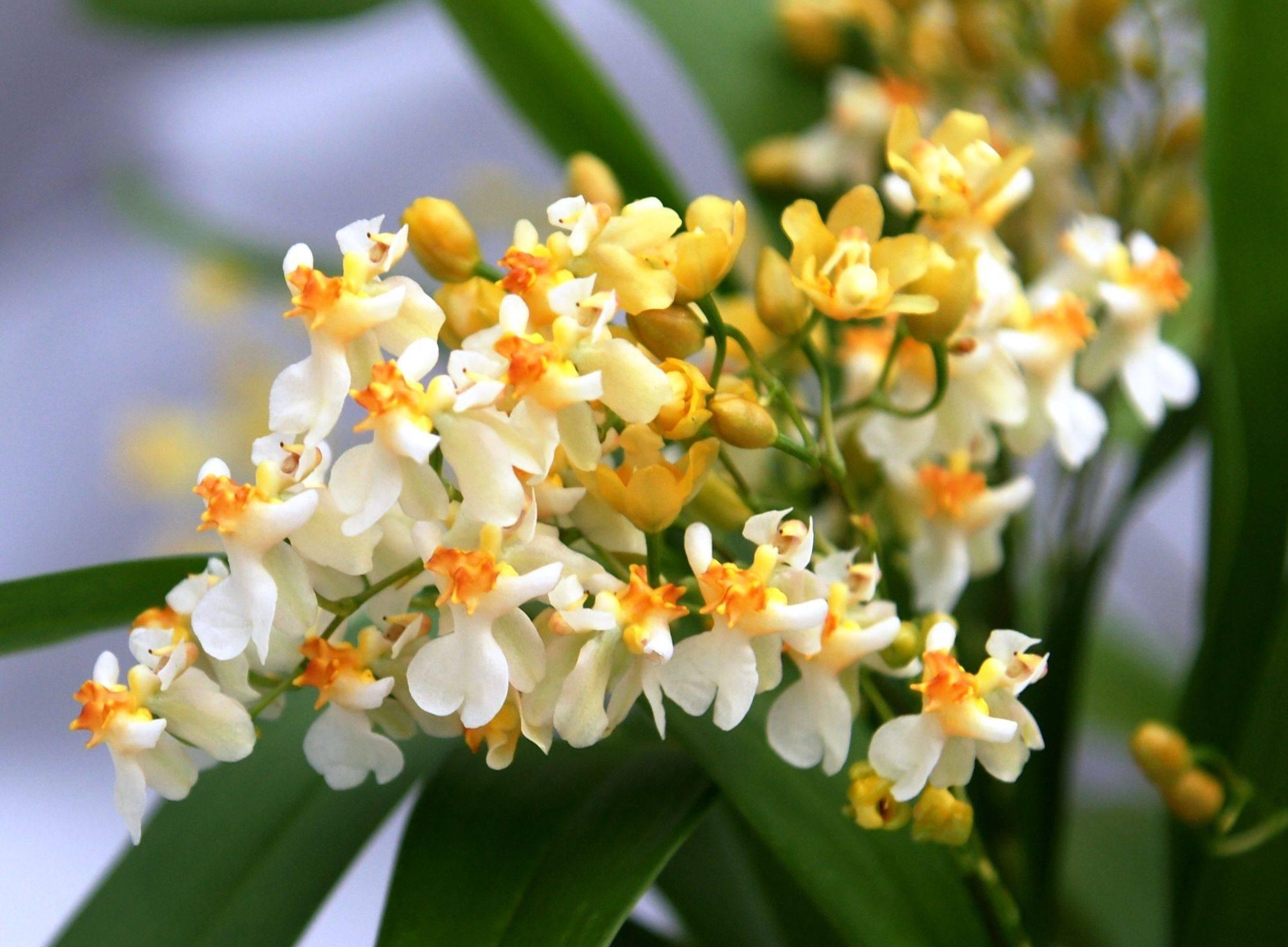 Орхидеи онцидиум: уход в домашних условиях
