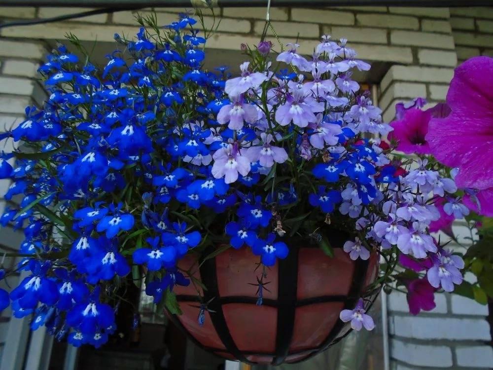 Лобелия «регата»: особенности ампельного цветка, описание разновидностей серии «блю сплэш» и «блю скай», «сапфир» и «лиловый водопад»