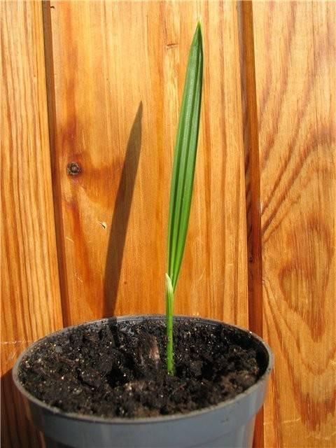 Финиковая пальма из косточки в домашних условиях - это реально? вполне! фото, инструкции