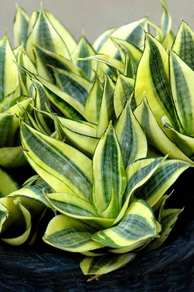 Сансевиерия цилиндрика: выращивание и уход в домашних условиях