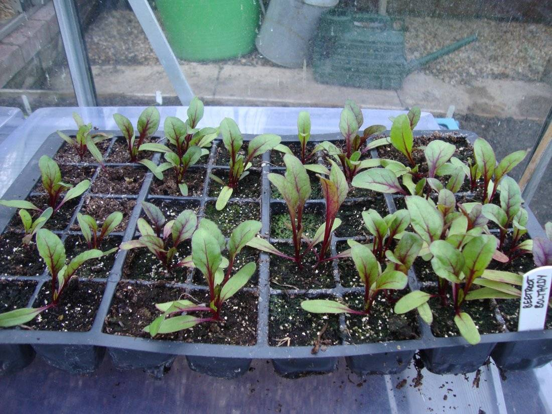 Обриета многолетняя: выращивание из семян и посадка в открытый грунт