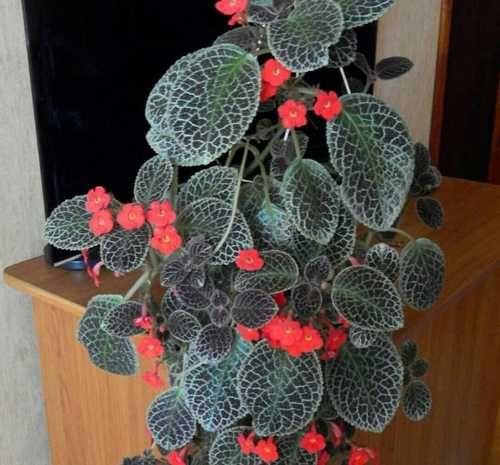 Эписция цветок — виды и сорта комнатного растения