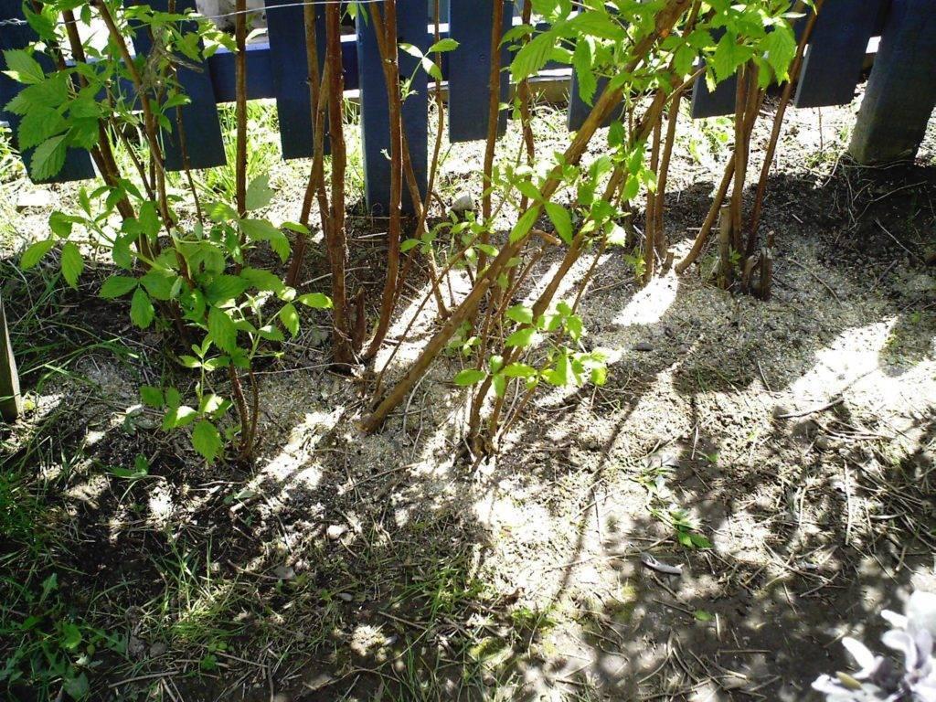 Как посадить и ухаживать за чубушником лемуана в открытом грунте: полив, удобрение