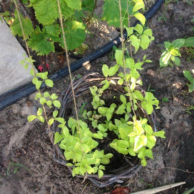 Из-за чего у клематисов сохнут листья – как предотвратить увядание