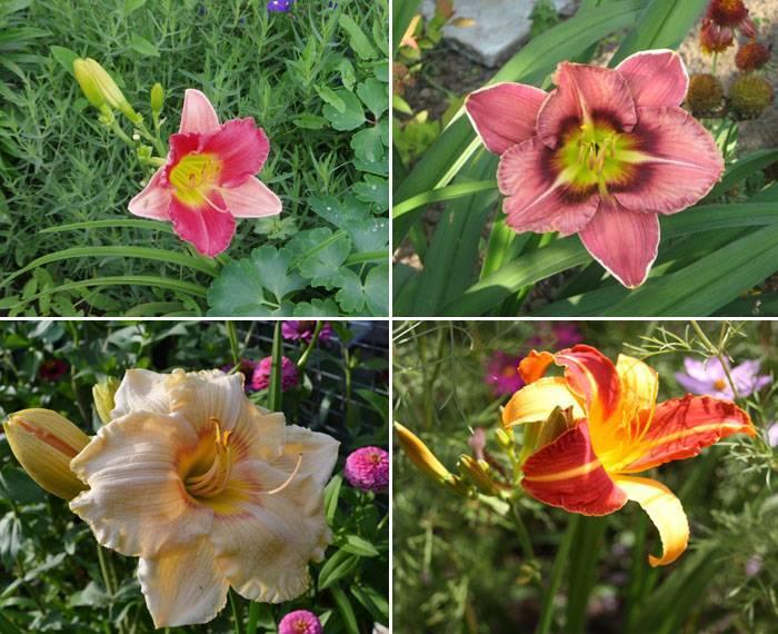 Правила пересадки лилейников на новое место летом, весной, осенью, после цветения