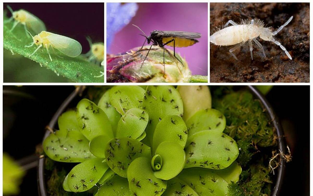 Атака насекомых: как бороться и избавиться от мошек в орхидеях