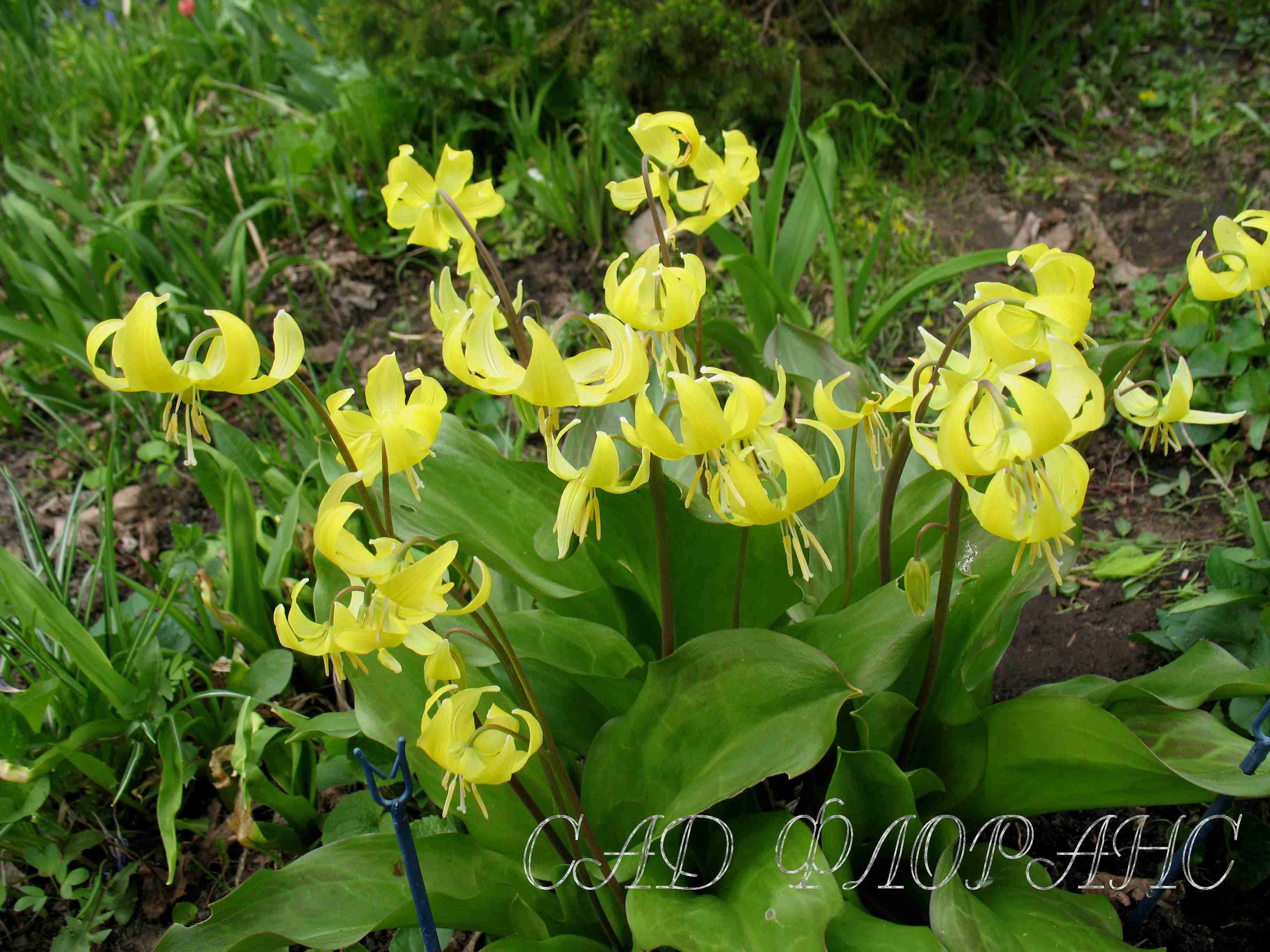Кандык: уход за сортами европейского, сибирского, желтого цветка