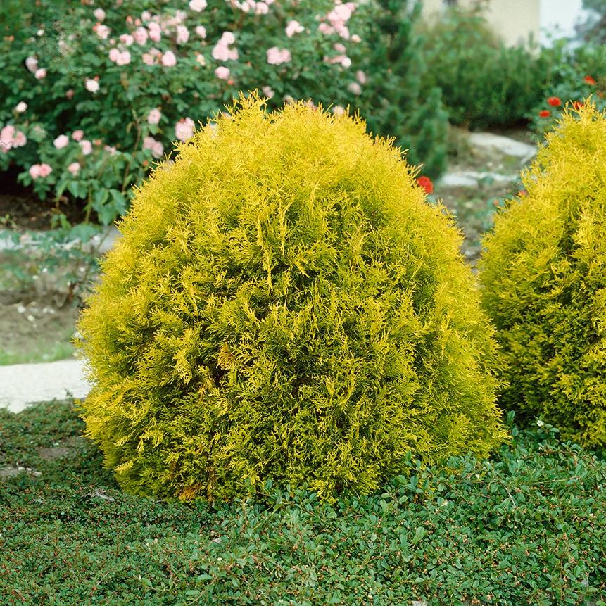 Туя «голден глоб» (13 фото): описание туи западной, размеры, посадка и уход, шаровидное дерево в ландшафтном дизайне