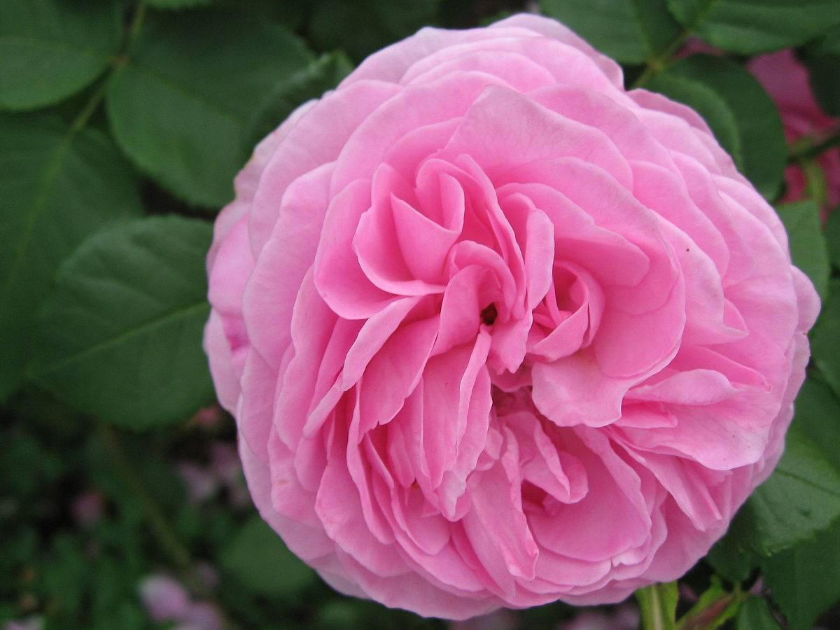 Описание плетистого сорта розы али баба: что это за ремонтантный вид, особенности