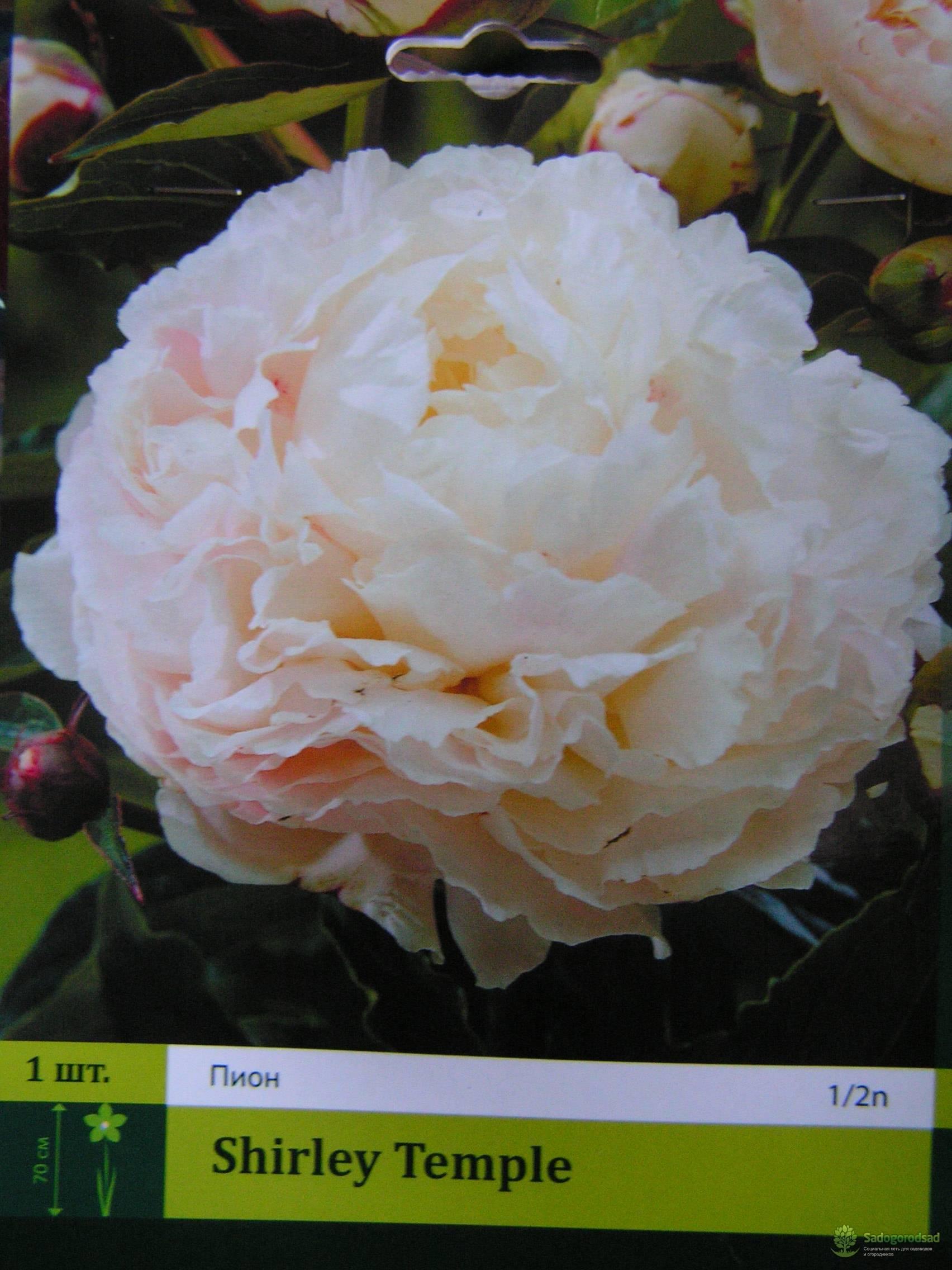 Пион травянистый: сорта с фото и названиями