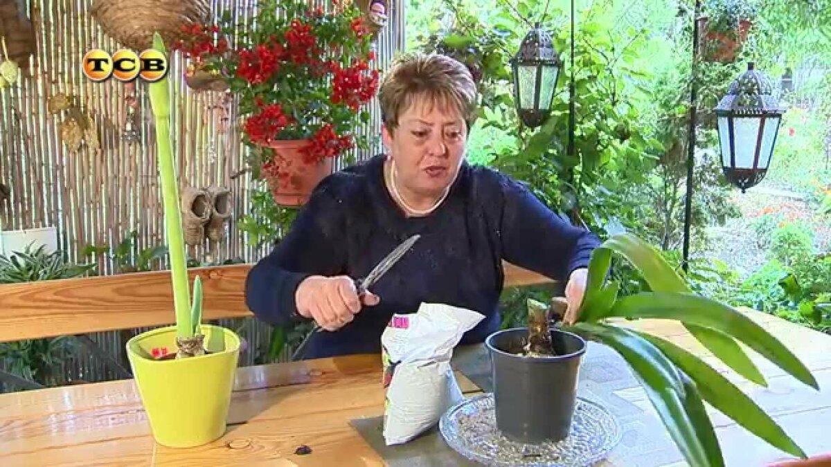 Как ухаживать за цветком гиппеаструма в домашних условиях чтоб зацвел, пересадка