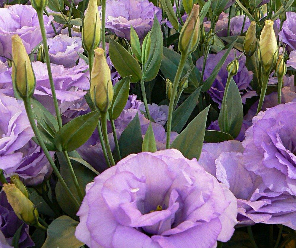 Эустома (лизиантус) – выращивание из семян в домашних условиях