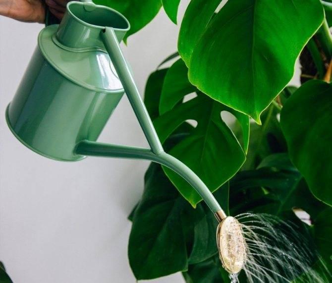 Главный вопрос: как часто нужно поливать фиалки в домашних условиях?