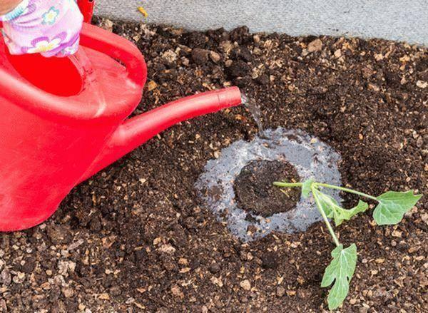Азарина лазающая выращивание из семян