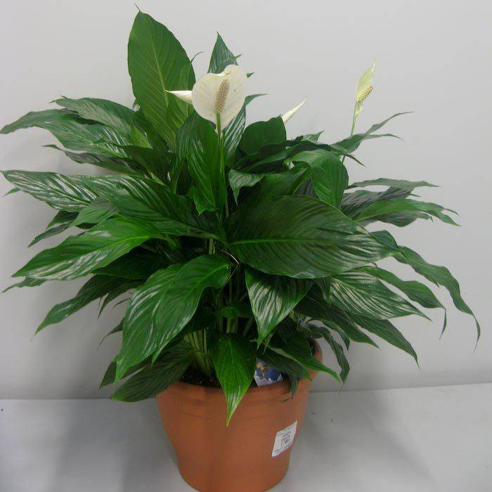 Описание и нюансы выращивания спатифиллума джемини. отличие сорта от других разновидностей растения