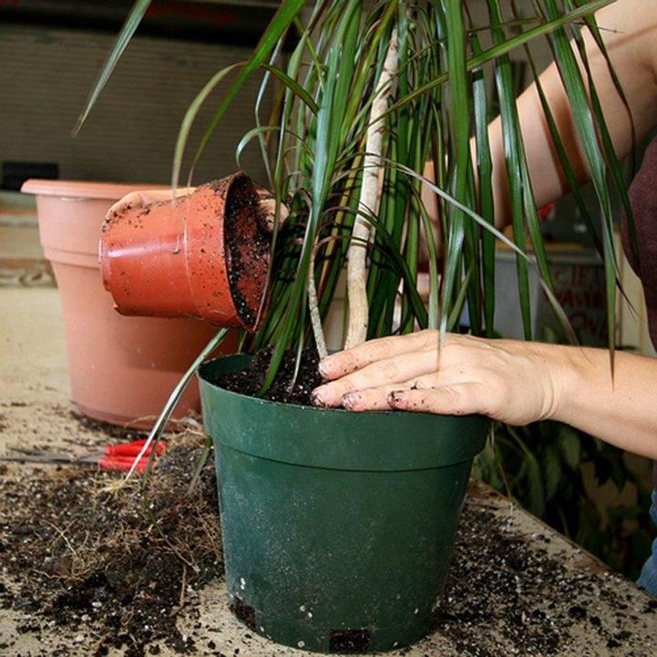 Выращивание адениума дома: как посадить, ухаживать, удобрять, размножать