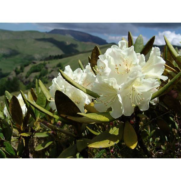 Rhododendron adamsii rehder описание таксона