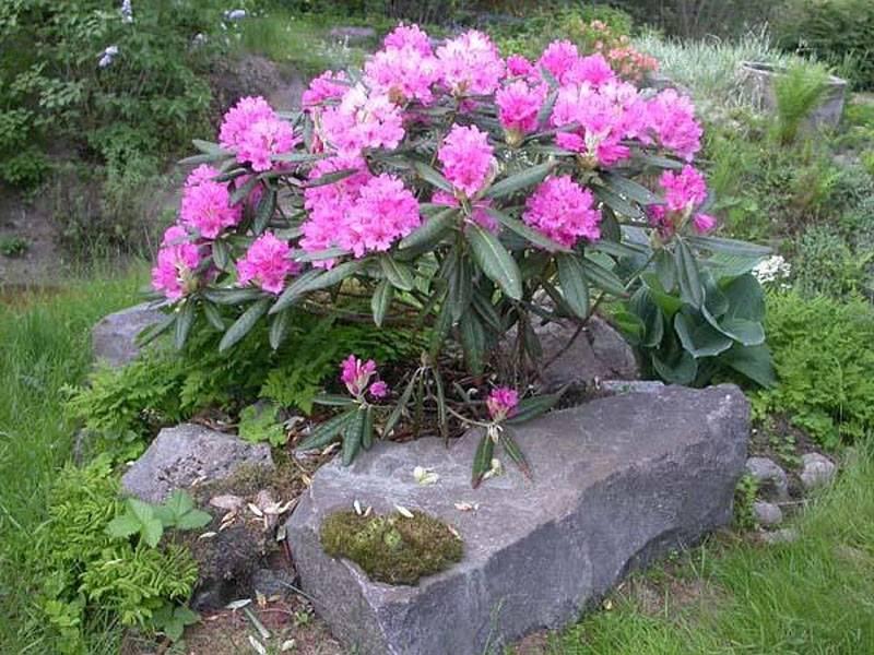 Почему не цветет рододендрон в открытом грунте в саду: что делать