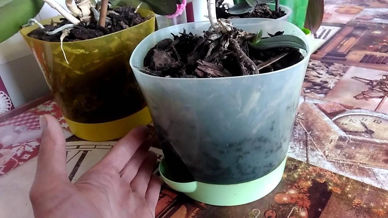Советы цветоводам: разбираем тонкости размножения орхидеи фаленопсис черенками в домашних условиях