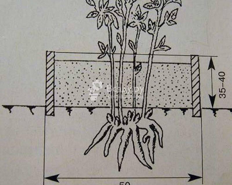 Правила посадки и ухода за монардой в открытом грунте, сорта и виды: размножение
