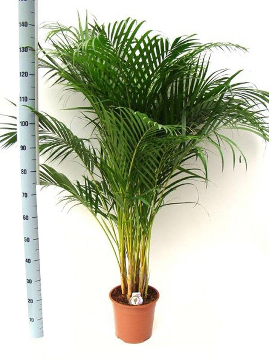 Пальма арека и уход в домашних условиях