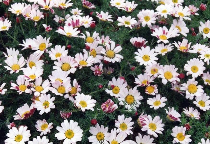 """Низкорослый цветок похож на ромашку. цветы, похожие на """"ромашку""""."""