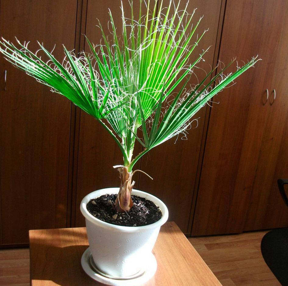 Особенности выращивания пальмы вашингтония