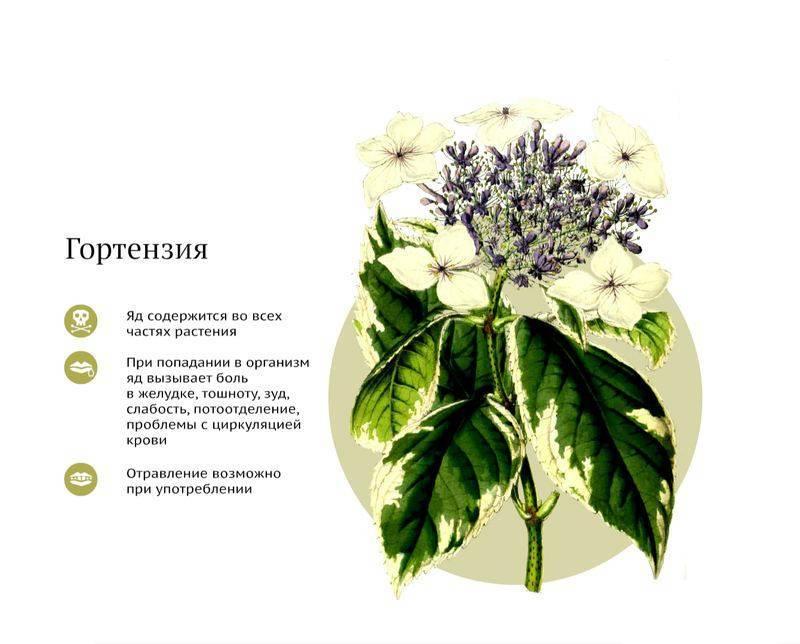 10 ядовитых комнатных растений, которым не место в квартире — фото и описание.