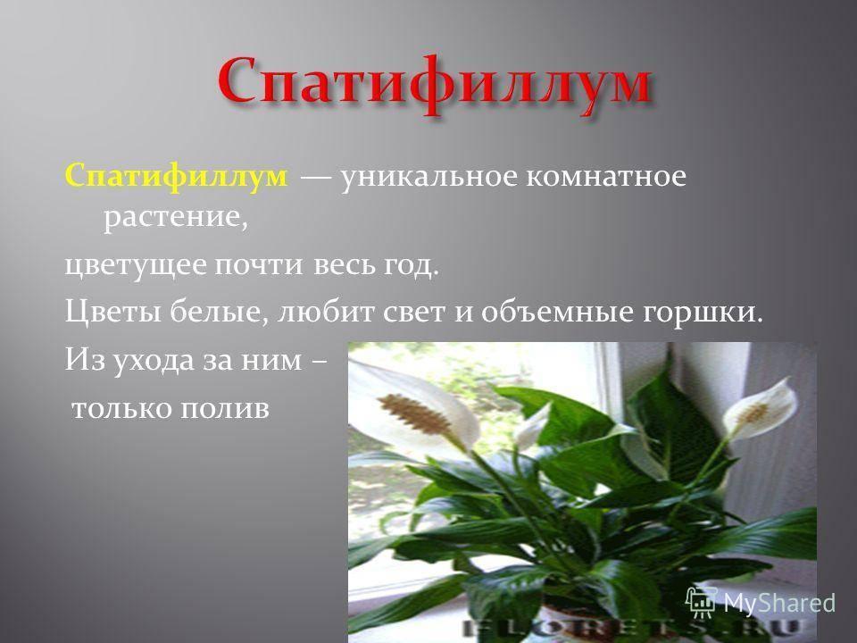 Уход за спатифиллумом в домашних условиях