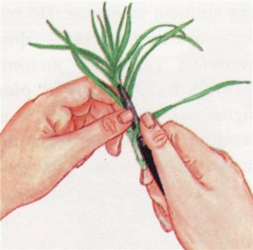 Как размножить лаванду от куста черенками