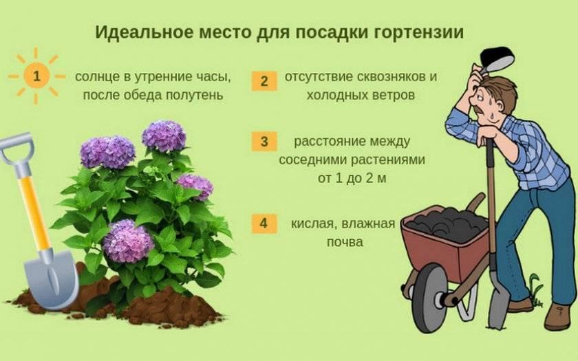 Гортензия пильчатая — описание лучших сортов, посадка и уход - pocvetam.ru