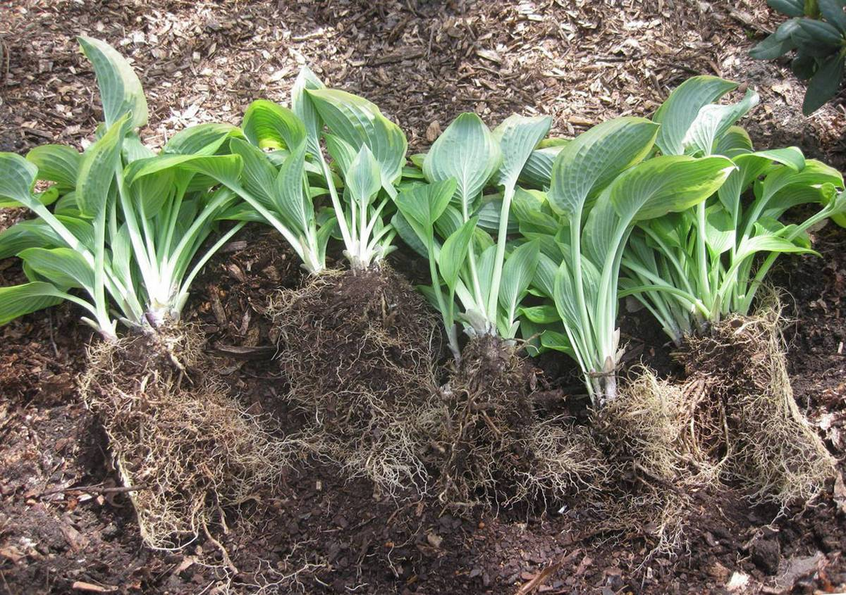 Чем можно подкармливать хосту весной и осенью: какие удобрения использовать?
