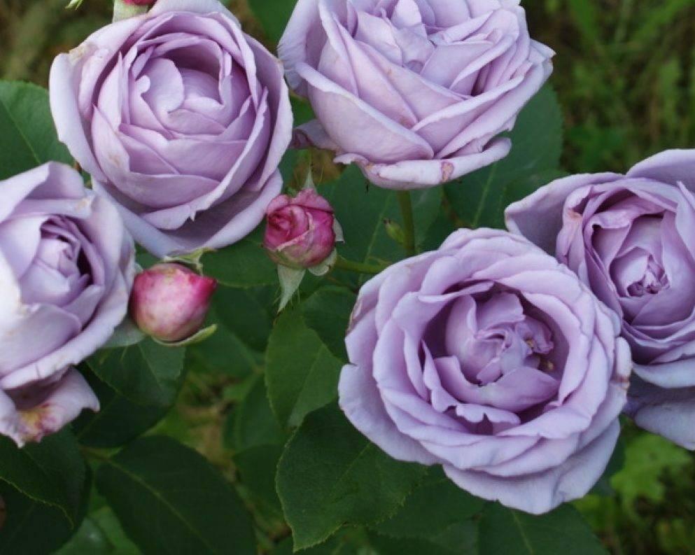 Описание и характеристики плетистой розы сорта амадеус: выращивание и уход