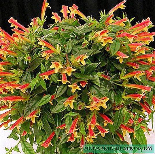Уход за нематантусом или гипоциртой в домашних условиях: сорта, почему не цветет
