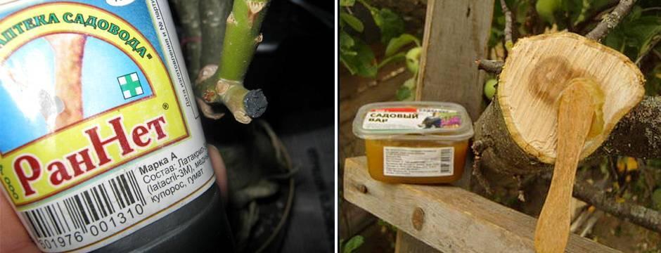 Обработка ран и срезов яблонь и других плодовых деревьев