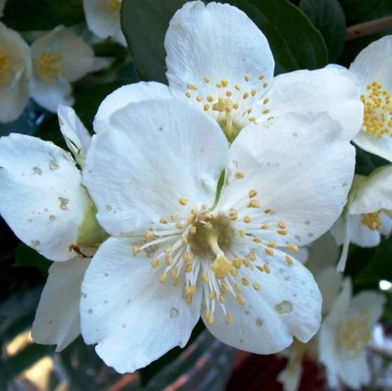 Цветущий жасмин или чубушник: выращивание в открытом грунте, размножение