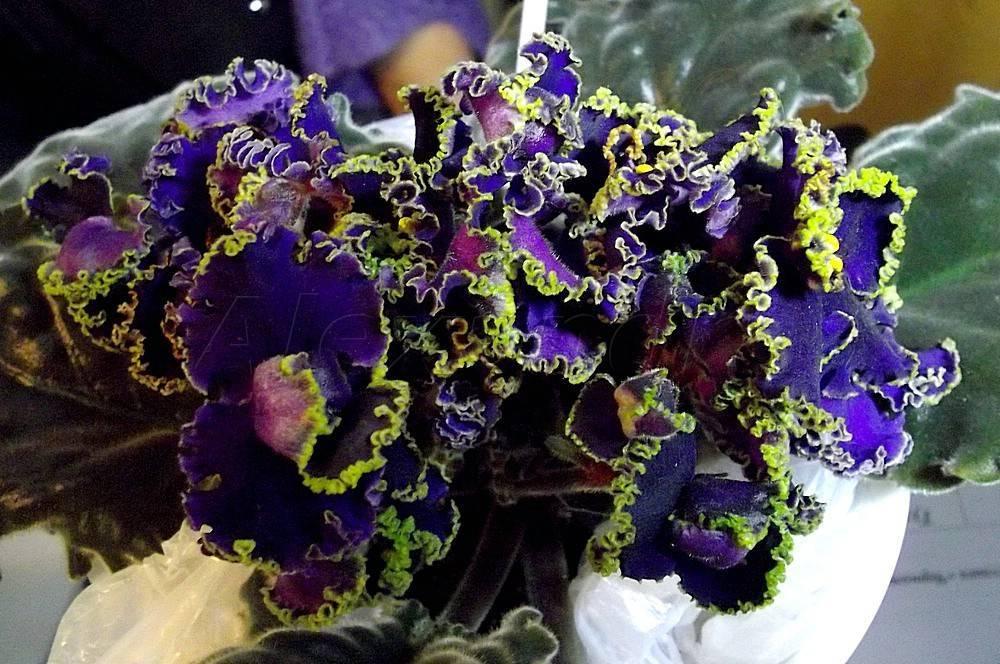 Фиалка ле фея: выращивание сорта сенполий дадоян и спорт в домашних условиях