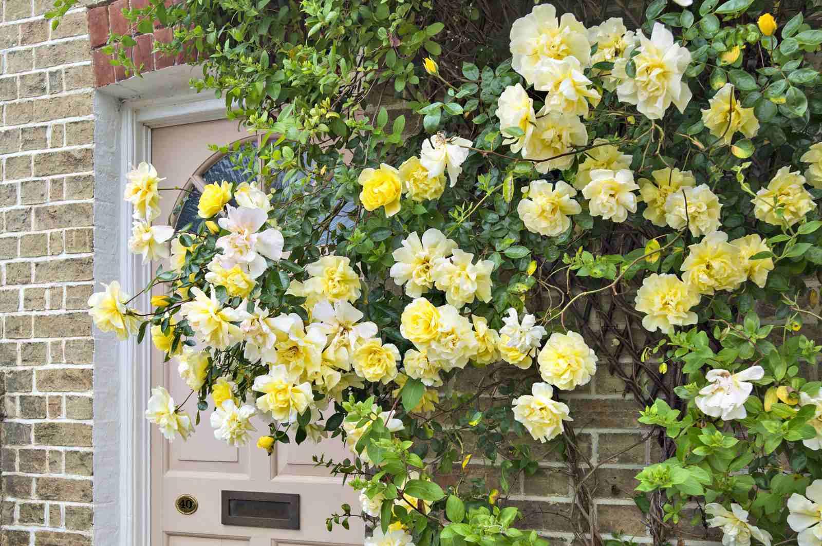 Роза майнцер фастнахт (mainzer fastnacht) — описание сорта