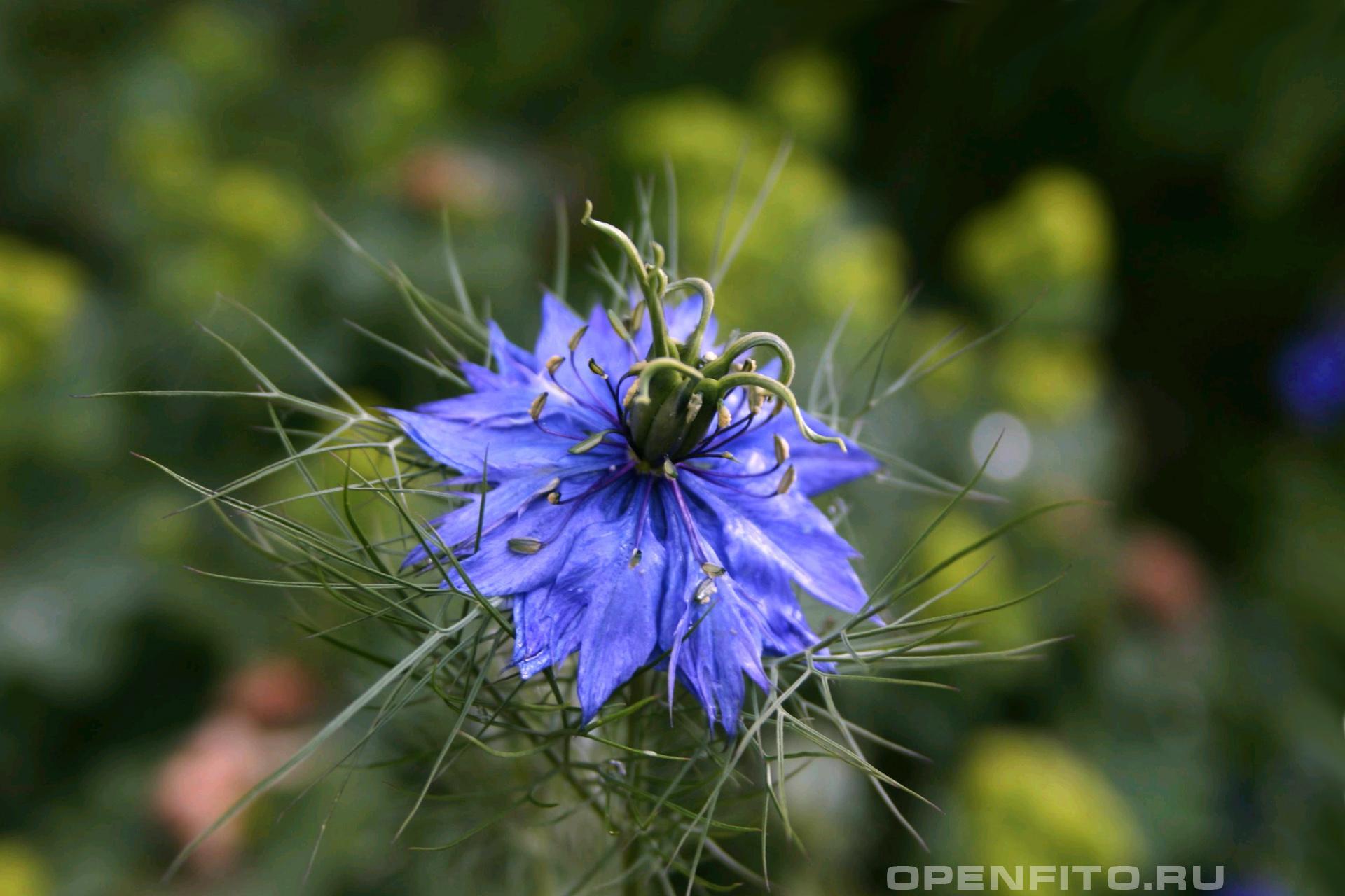Нигелла выращивание из семян. как и когда следует сажать на участке дамасскую нигеллу? уход за растением