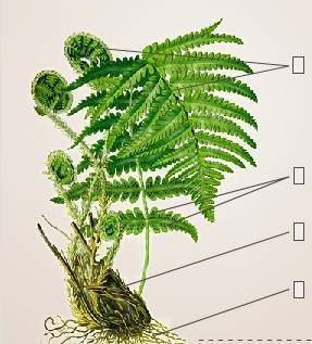 Правила ухода за папоротником асплениумом в домашних условиях: как посадить, размножать