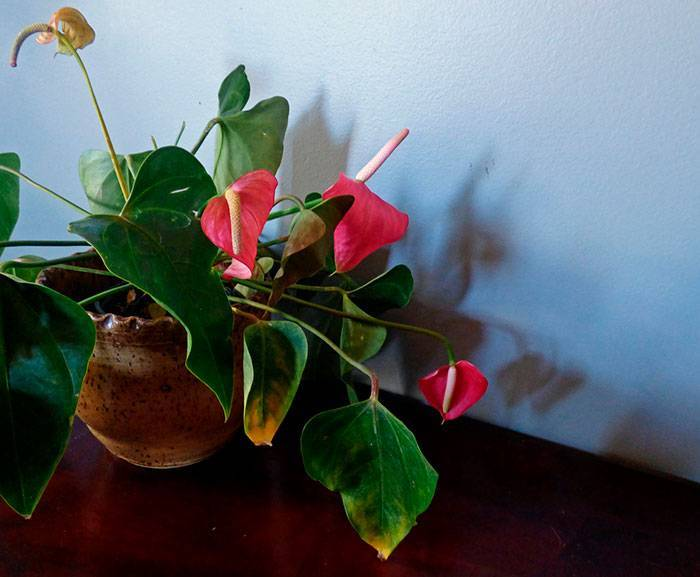Ухода за цикламеном дома: почему желтеют листья во время цветения, что делать