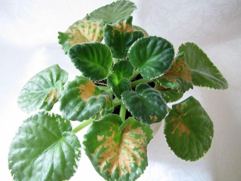 Определение и лечение болезней фиалок: желтеют листья, скручиваются, белый налет