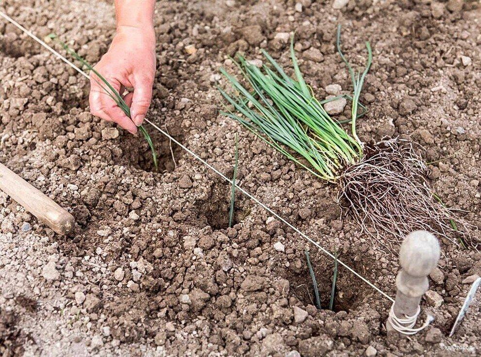 Распространенные виды цветка камнеломка: особенности выращивания и ухода дома