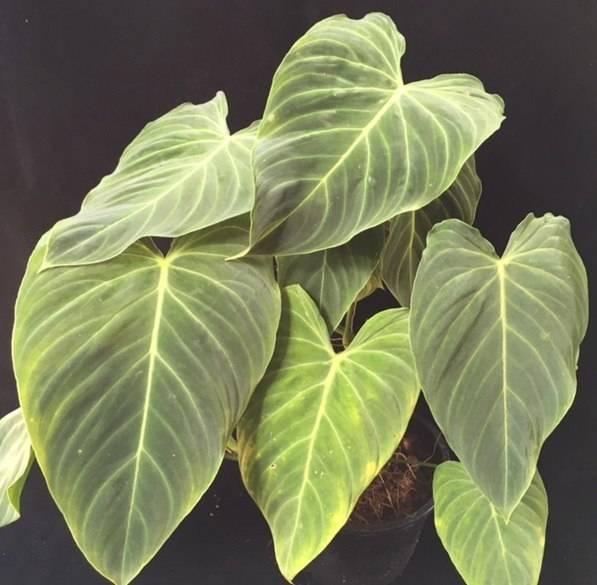 Филодендрон — тропические джунгли у вас дома
