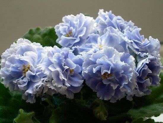 """Фиалка """"голубой туман"""": фото и описание внешнего вида, отличительные особенности сорта, нюансы выращивания и ухода"""