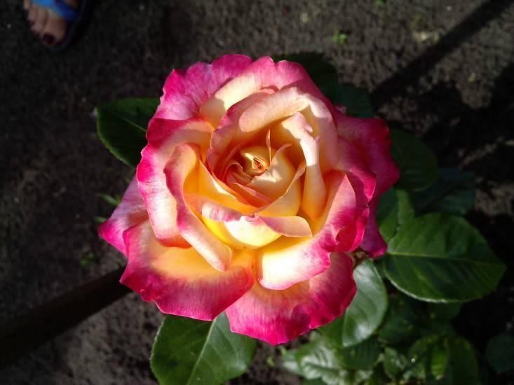 Уход и разведение розы пульман (восточный экспресс)