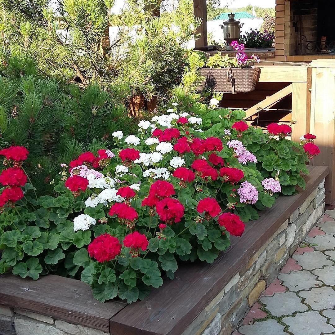 Кампанула садовая многолетняя — посадка и уход