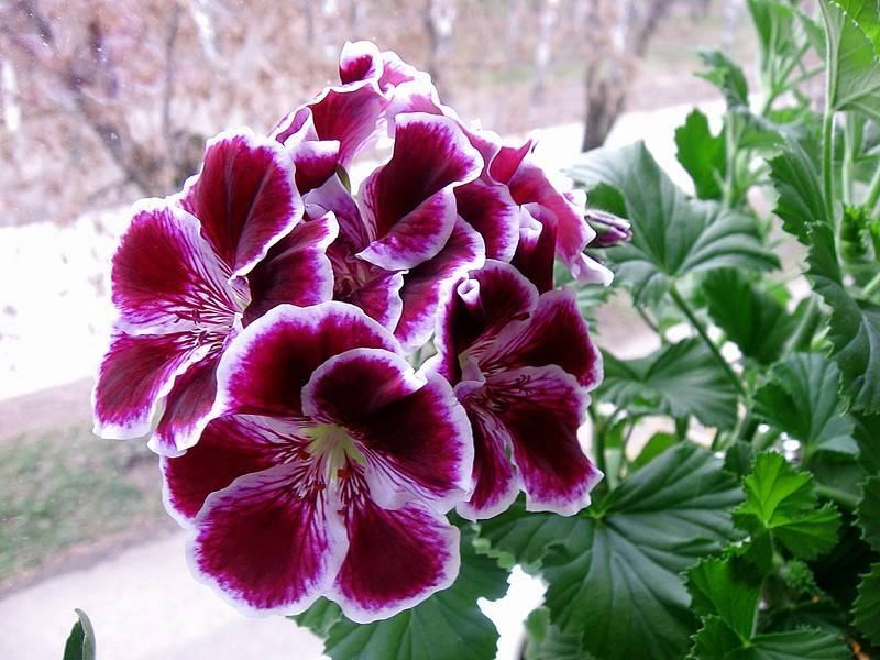 Как ухаживать закоролевской пеларгонией, чтобы добиться яркого «махрового» цветения