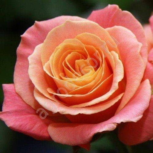 Роза Мисс Пигги (Miss Piggy) — что это за срезочный сорт